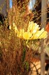 En helt ljuvlig Clivia som gömmer sig vackert inne i spirean
