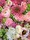 Blomsterhjärta till begravning i rosa blommor