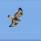 En ensam fjällvråk flög över stugan
