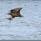 Ett rejält vingslag och örnen har fått ordentligt grepp om anden..