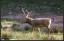 Bara en av de tre hjortarna har färdigutvuxna horn lagom till brunstperioden