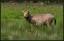 En av de två davidshjortarna, som ännu inte har fått nya horn