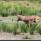 Här kommer hjorten tillbaka inom syn- och fotohåll, efter att ha försökt sig på ett anfall mot den andre visenten