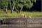 De tre unghjortarna kommer tillbaka efter att ha tagit en lov runt skogen..