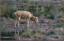 och i andra änden av Remmarna står den hornlöse hjorten och ser bedrövad ut
