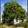 Sommargrönt träd i september