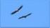 Och havsörnarna har flyguppvisning