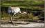 Här en av de tranor som trivs på Eriksberg..