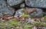 Söt ekorre skuttar utmed stenmur