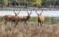 tre unga hjortar, födda på Eriksberg , har blivit vuxna