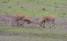 Ett par unga hjortar mäter sina krafter