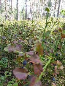 Massor av blåbär och mamma i skogen :)