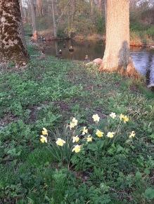 210513 Hur länge kan mina påskliljor blomma hemma ? De har stått i evigheter nu. Kolla de fina stenstatyerna bakom som Lars roar oss med i ån :).