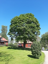 210530 vårt fina träd