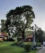 Med skyliften bredvid ser man hur stort trädet blivit.