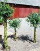 Salix-