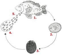Livscykel Ichthyophthirius