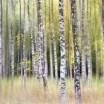 Autumn Birches, Sweden