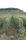 För hållbar odling låter man gräs växa mellan vinraderna.