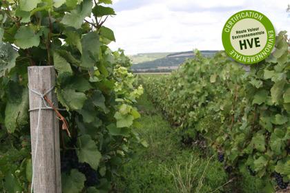 BIld från sommaren 2015 på Champagne Mathelins druvodling med Pinot Noir. Den hållbara odlingen medför att man låter gräset växa mellan vinraderna för att gynna den biologiska mångfalden.