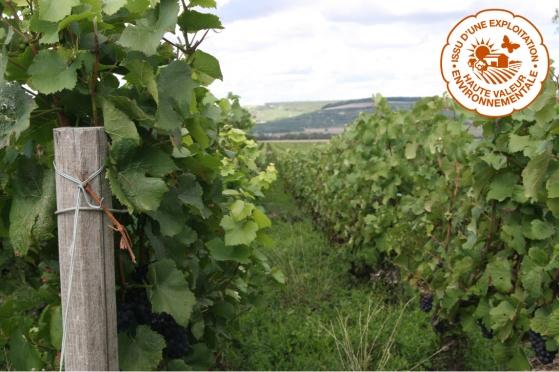 Bild från sommaren 2015 på Champagne Mathelins vinodling. Den hållbara odlingen medför att man låter gräset växa mellan vinraderna för att gynna den biologiska mångfalden.