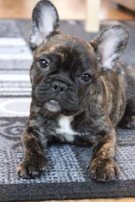 Jere, fransk bulldogg. Foto: Minerva Särkelä.