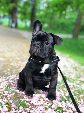 Slips, fransk bulldogg. Foto: Anton Lindskog.