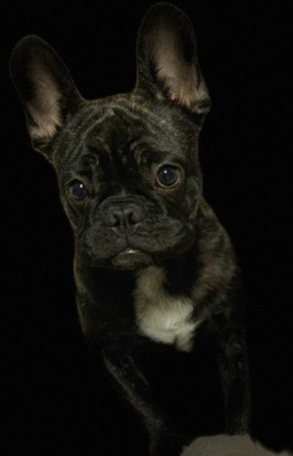 Allan, fransk bulldogg. Foto: Sofie Fernstedt