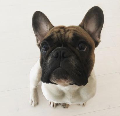 Filson, fransk bulldogg. Foto: Linn Hendra.
