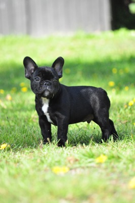Bob, fransk bulldogg. Foto: Daniel Fyhrqvist.