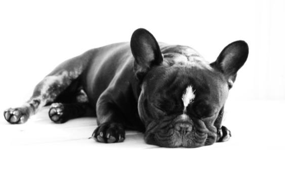 Bosse, fransk bulldogg.