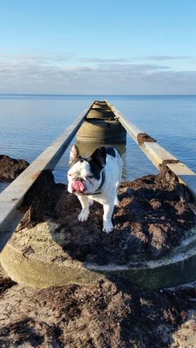 Fransk bulldogg.