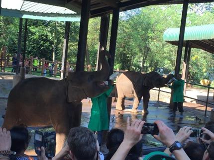 De små elefanterna matas flera gånger om dagen med flaska tills de är 5 år!