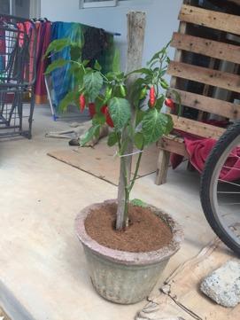 En norsk/lankesisk chillibuske måste man ju ha;)