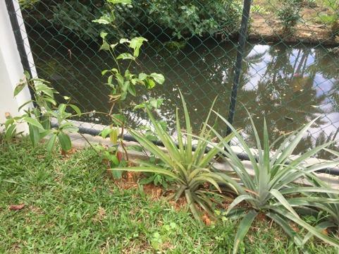 Första lilla plantan är kanelträd, den klättrande är passionsfrukt och sedan kommer den fina ananasplantan. Ananasplantan levererar endast en ananas per år.