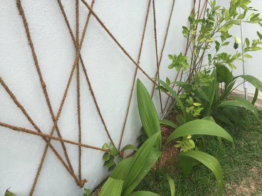 De små klättrande mot väggen är peppar. Har spänt upp lite fina kokosrep för dem att klättra på. Busken längst till höger kommer att producera  stora lime.