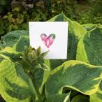 blomhjärta