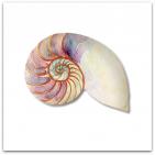 059-snäcka nautilus
