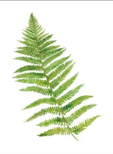 227 ormbunksblad grönt