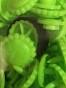 Lime blommor