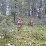 Stora skogen