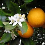 Appelsinhydrolat 100 ml