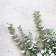 Eucalyptushydrolat 100 ml