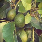 Avocadosmör 15 ml