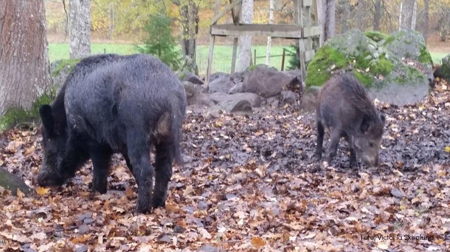 Två vildsvin, en sugga och en kulting