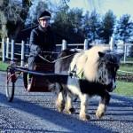 inkörning ponny