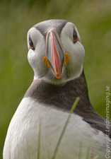 Paradise Puffin