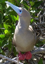 Redfooted Boobie