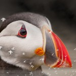 The last puffin