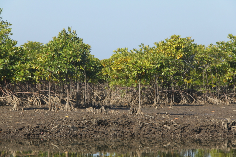 Mangrove i Myanmar, Burma.